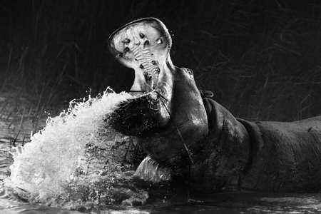 Angry hippopotamus, Hippo displaying dominance with a wide open mouth while splashing water in black and white. Fine art. Hippopotamus amphibius. Zdjęcie Seryjne - 157923152