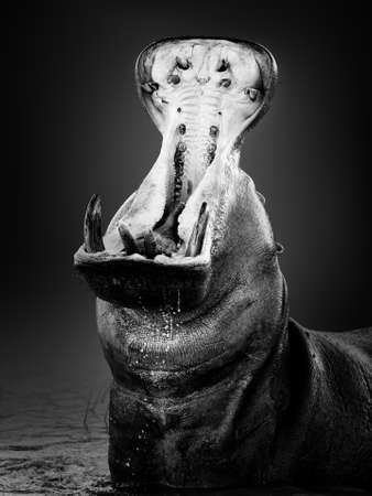 Angry hippopotamus or hippo displaying dominance in the water with a wide open mouth splashing water. Hippopotamus amphibius. Fine art. Black and white. Zdjęcie Seryjne - 158463475