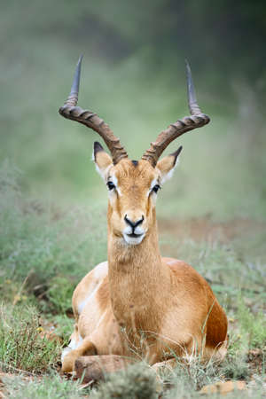 Male adult impala close-up portrait resting by laying down facing the camera. Aepyceros melampus.