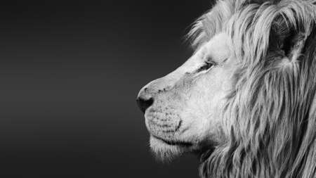 Large white male lion ( Panthera leo ) black and white facial side portrait close-up with text space. Stock