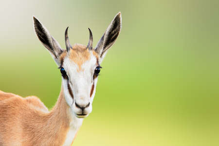 Springbuck or Springbok sub-adult close-up facial portrait with a sweet loving expression and copy space.