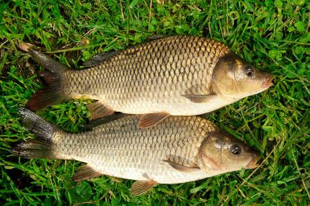 pez carpa: Peces de agua dulce carpa ponerse en la hierba verde