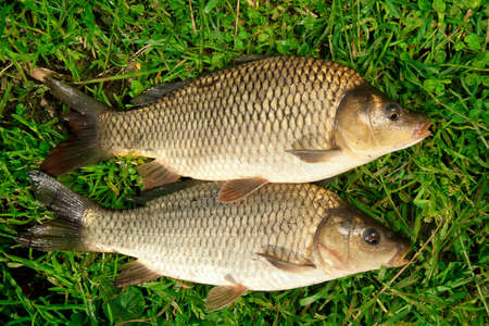Freshwater fish Carp catch in green grass