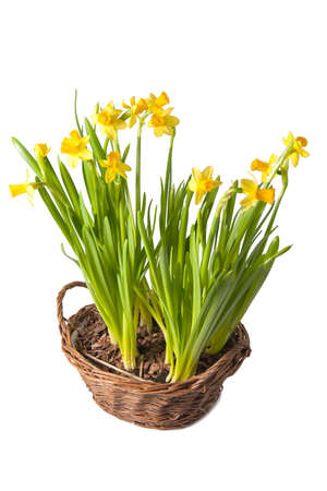 daffodils boquet in the basket, isolated  Stock Photo