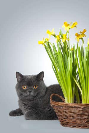 grey scottish cat with daffodils Stock Photo