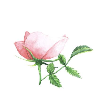 botanics: Rose - wild flower