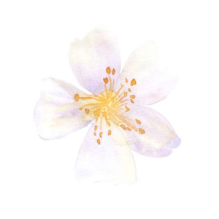 botanics: Anemone - wild flower