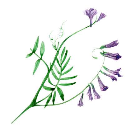 botanics: Bird vetch - wild flower