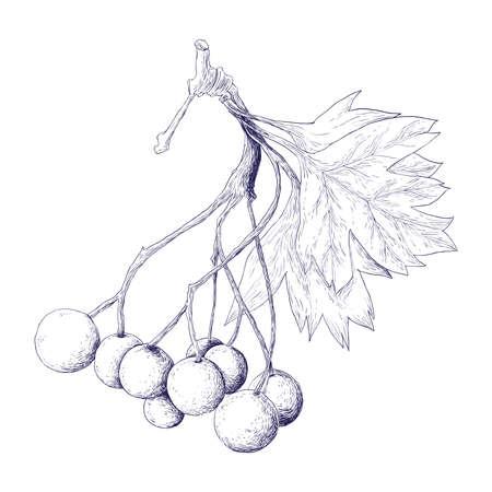 Hawthorn Berries Ilustração