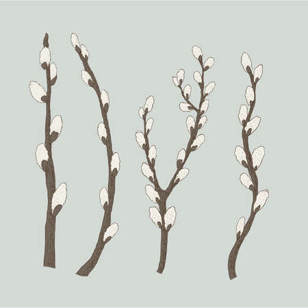 Pussy willow branches, vector illustration