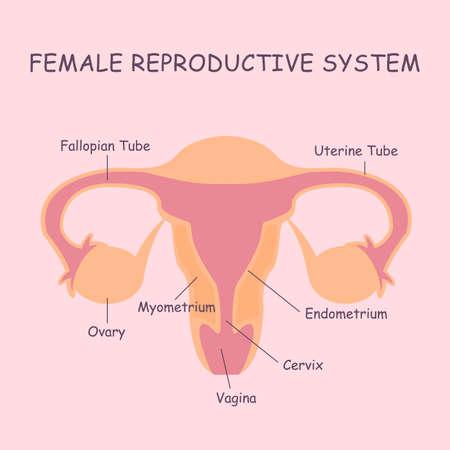 ovary: �tero y los ovarios, los �rganos del sistema reproductor femenino Vectores
