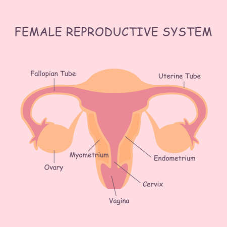 uterine: Uterus and ovaries, organs of female reproductive system Illustration