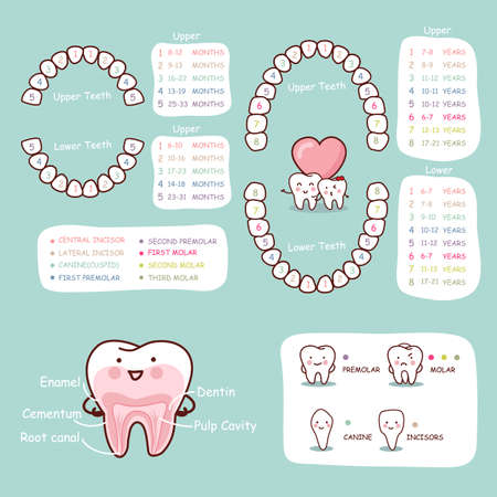 white teeth: human tooth cartoon anatomy chart, great for health dental care concept
