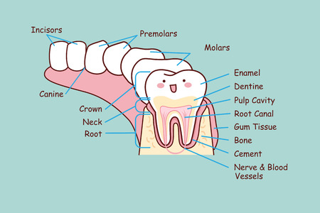 Cartoon Dental Anatomy Tooth Great For Health Dental Care