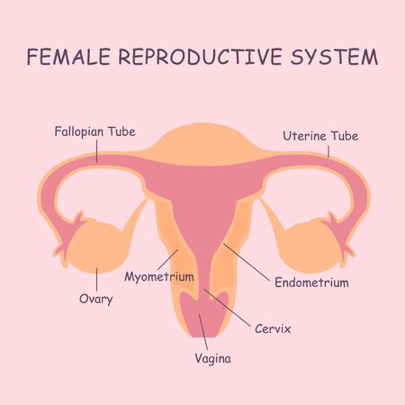 sistema reproductor femenino: Útero y los ovarios, los órganos del sistema reproductor femenino Vectores
