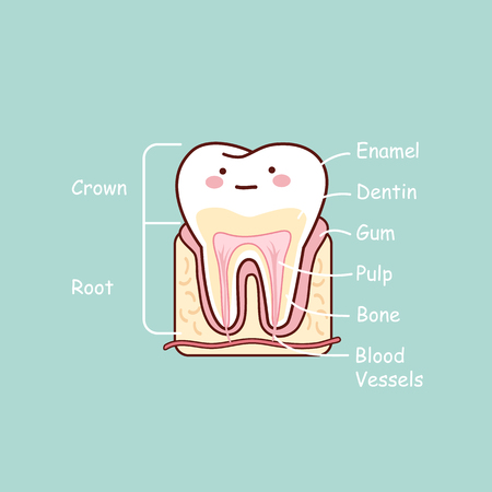 cartoon tooth anatomy chart, great for dental care and teeth whitening and bleaching concept