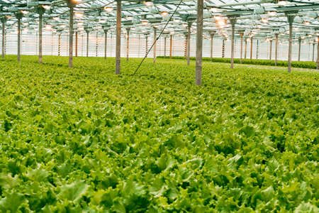 green cabbage grows in the greenhouse. Growing greens on an industrial scale. The big light greenhouse with a large amount of lettuce.