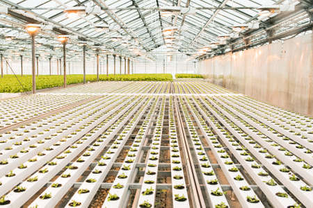 Beautiful large bright greenhouse. A large number of lettuce seedlings. Celebrate the day of the earth. Ecological care of plants. Reklamní fotografie