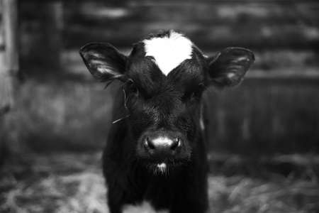 Cute calf looks into the object. A cow stands inside a ranch next to hay and other calves.