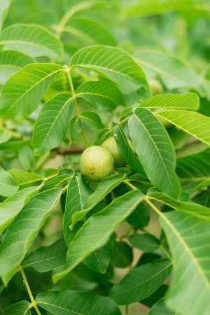 Unripe green chestnut on a tree branch. not ripe nut grows on a tree.