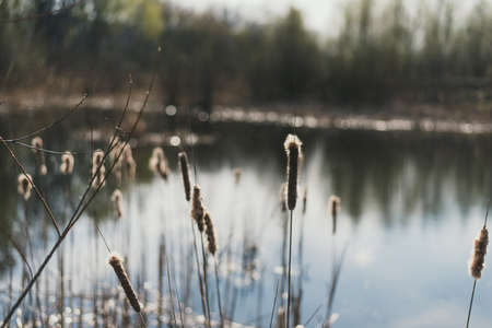 Reeds on the background of the lake. Reeds with down in the spring. Beautiful natural background. Stock Photo