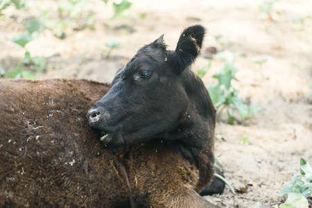 Abuso de animales en la agricultura. Una vaca en un prado se muerde a sí misma. Becerro con lana enrollada y pulgas. Foto de archivo