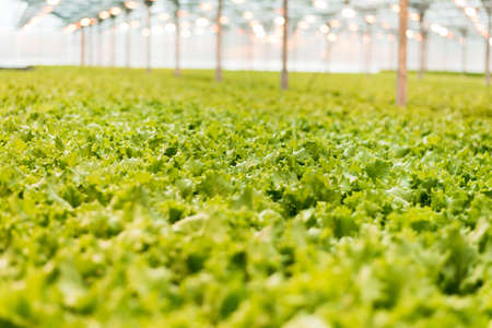 green cabbage grows in the greenhouse. Growing greens on an industrial scale. The big light greenhouse with a large amount of lettuce
