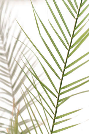 abstract background of shadows palm leaves on a white wall. tropical coconut palm leaves isolated on white background. Stock fotó