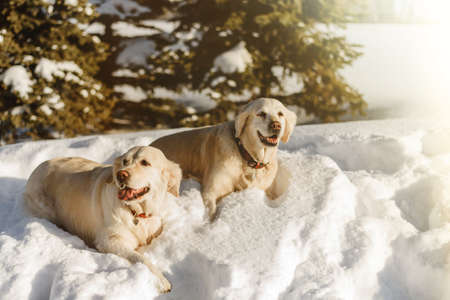 two labrador dogs in the snow, dogs walk in winter.
