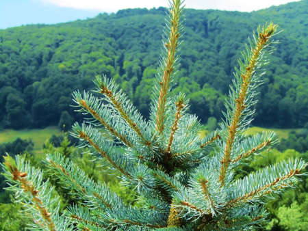 detailed view of a pine in a mountain scenary                      photo