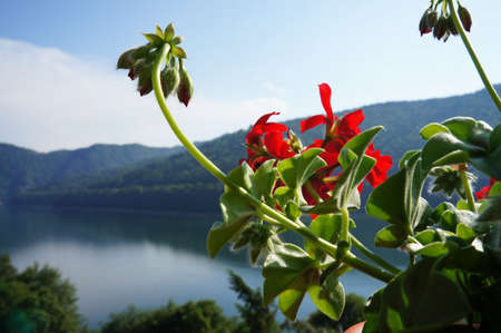 foreshortening: Close-up view of red geranium with the Vidraru lake in Romania as background                              Stock Photo