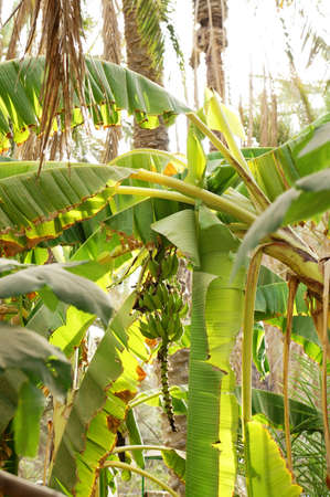 Banana tree in a tunisian oasis with a bunch of green bananas photo
