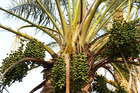 green dates: Close up view of the crown of date palm tree with green fruits