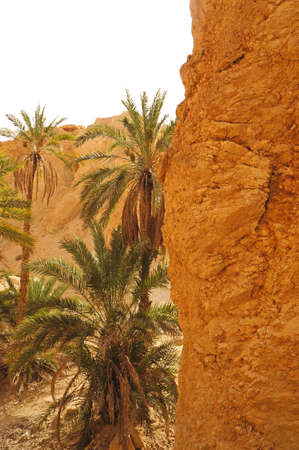 View of the palm trees of the Chebika oasis in Tunisia photo