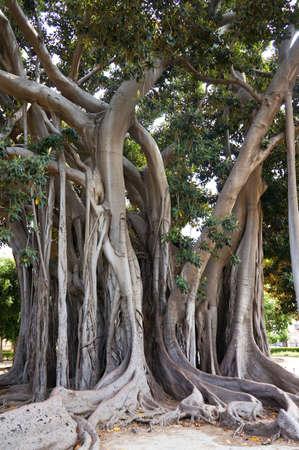 Ficus Macrophylla in the Villa Garibaldi of Palermo in Sicily Stock Photo - 15470111