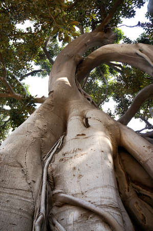 Roots and branches of the Ficus Macrophylla in the Villa Garibaldi of Palermo in Sicily photo