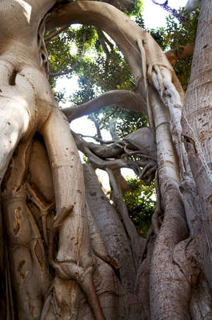 strangler: Roots and branches of the Ficus Macrophylla in the Villa Garibaldi of Palermo in Sicily