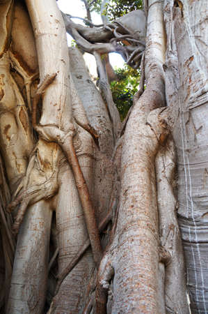 Roots and branches of the Ficus Macrophylla in the Villa Garibaldi of Palermo in Sicily Stock Photo - 15470112
