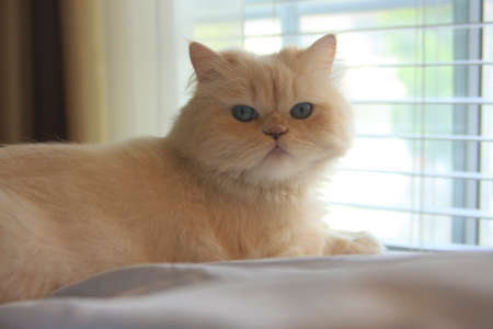 Himalayan persian white Cat photo