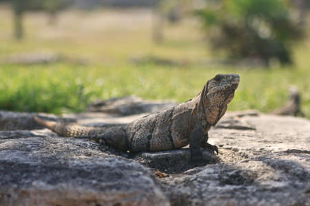 looking ahead: Iguana looking ahead