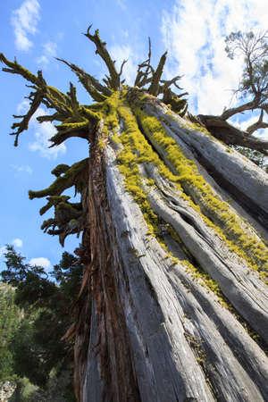 Big tree on Lake Tahoe Фото со стока