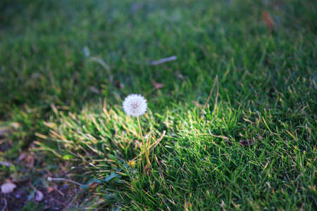 Senecio  flower in the gress
