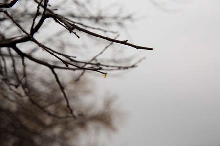 overcast: One drop in the tree on a overcast day Stock Photo