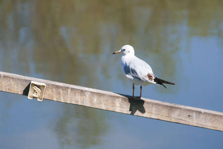 goodliness: One Seagull standing on a wooden stick up on the water