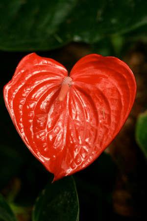 Red Anthurium in a Heart shape Foto de archivo
