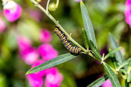 Caterpillar climbing a plant and eating the leaf, bokeh backgrount, space for text, flowers in background.