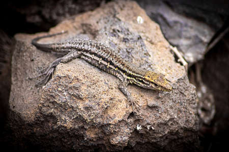 Canarian lizard - Tizon lizard - between the rocks catching tan. Reptine in the wild, endemic lizard in Tenerife. Space for text.