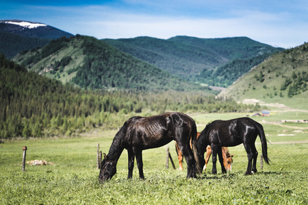 barn wood: Horses in mountains in the village, on field. at home Stock Photo