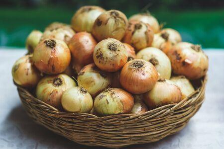 an onions: cebollas frescas en cesta de mimbre