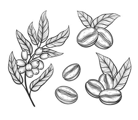 Coffee tree branch with leaves and beans. Coffee grains in graphic style hand drawn vector illustration.